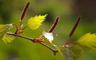 Настойка березовых почек на водке от цистита