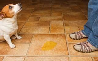 Опасен ли цистит для собак