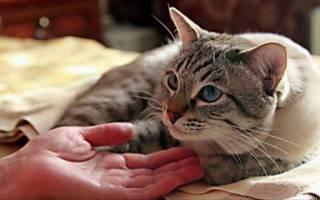 Недержание мочи при цистите у кошек