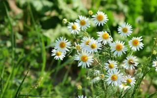 Можно ли ромашки цветки от цистита