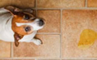 Собака стала писать дома цистит