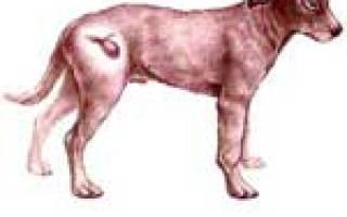 Лечение гнойного цистита у собак