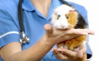 Цистит у морских свинок симптомы
