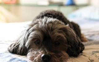 Лечение пиелонефрита и цистита у собак
