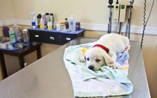 Лечение у собаки антибиотиками цистита