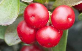 Трава толокнянка лечебные свойства при цистите у женщин