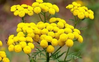 Показания к применению цветков пижмы цистит
