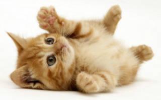 Сахарный диабет у кота и цистит