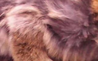 Цистит у кролика с кровью