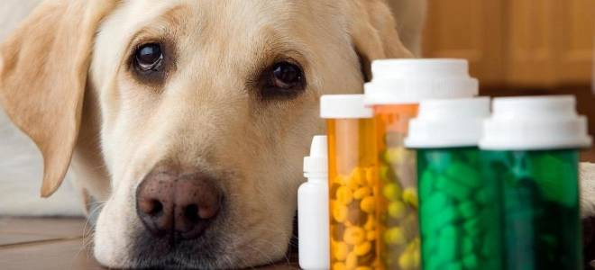 Цистит у собаки без антибиотика