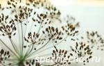 Отвар семян укропа при цистите отзывы