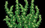 Трава эрвы шерстистой при цистите