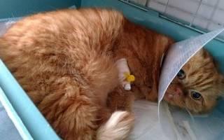 Цистит у кота после уретростомии