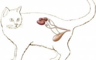 Цистит после катетера у кота